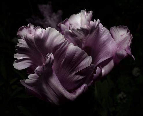 Tulp uit boek A Year In The Dark